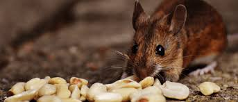 How To Get Rid Of Mice In The Walls Permanently Best Solutions