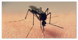 Доклад про комара Опасность для человека