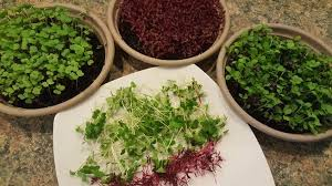 pots of microgreens
