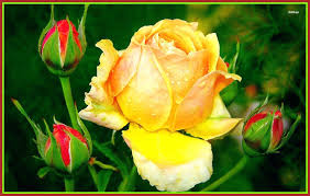 yellow rose wallpaper flower images flower images yellow rose awesome yellow rose flower wallpaper pic of yellow rose