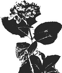 花のイラストフリー素材白黒モノクロno165白黒あじさいリアル