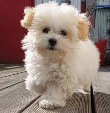 maltipoo maltese poodle mix puppy