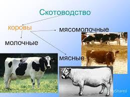 Презентация на тему Окружающий мир класс Сельское хозяйство  9 Скотоводство коровы мясомолочные молочные мясные