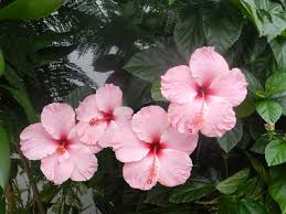 hibiscus flowers beautiful and holy hibiscus flowers pictures youtube