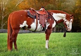 Resultado de imagem para cavalos paint horse