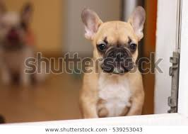 french bulldog puppy fawn. Modren Puppy Beautiful French Bulldog Puppy White Fawn Dog Looks Out The Window In  Background Sits Intended French Bulldog Puppy Fawn D