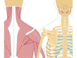 Guided learning helps you study the human body layer by layer. Head Neck Muscles Muscles That Act On The Neck And Head