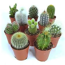 cactus mix 10 plants house office live indoor pot plant ideal gift