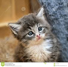 cute fluffy gray kittens. Brilliant Cute Cute Little Fluffy Gray And White Kitten With Fluffy Gray Kittens L