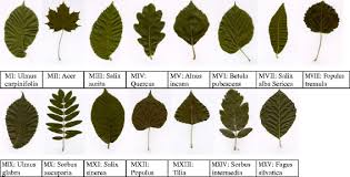 Fifteen Species Of Tree Leaf Images From The Swedish Leaf