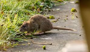 Rat Attempt A Eradication Why Island On Henderson Failed