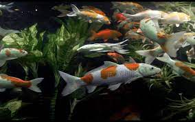 Koi Live Wallpaper for Android - APK ...