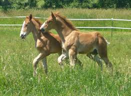 baby horses playing. Simple Baby BabyHorsesPlaying  Baby Pictures  Sandrock Belgian Farm Registered  Horses Throughout Playing L