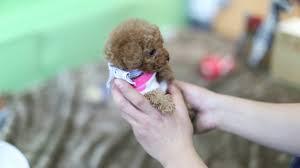 teacup toy poodle dog you