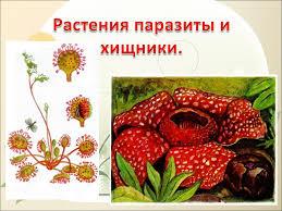 Растения паразиты и хищники й класс Презентация к уроку