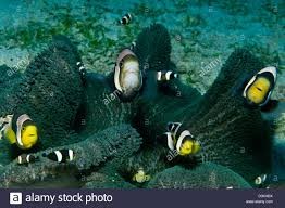 black and yellow clown fish. Wonderful Black Whole Family Of Black White And Yellow Clownfish In Dark Grey Anemone  Komodo With Black And Yellow Clown Fish I