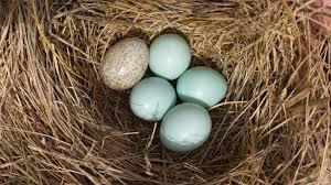 cowbird egg in eastern bluebird nest