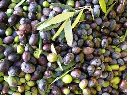 Olives Harvest at Borgo Grondaie