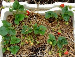 we tried growing and nellie kelly strawberry plant together