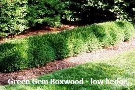 Boxwood Green Gem Size 2