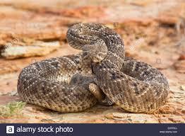 rattlesnake strike pose. Interesting Rattlesnake Western Diamondback Rattlesnake In Aggressive Strike Pose  Stock Image And Rattlesnake Strike Pose E