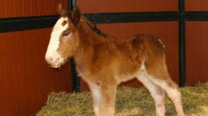 new super bowl star baby clydesdale