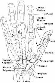 Pin By Lou Colwell On Anatomy Hand Anatomy Anatomy Bones