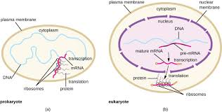 Protein Synthesis Flow Chart Key Prokaryotic Translation Biology For Majors I