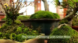12) Bonsai Technique: Secrets of Lush Green Moss - YouTube