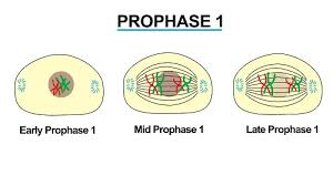 Image result for prophase 1 in meiosis