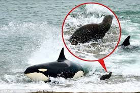 killer whale attacks on humans. Narrow Escape This Lucky Seal Circled Manages To The Terrifying Killer Whale Inside Attacks On Humans