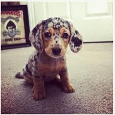 australian shepherd dachshund mix i want one wedding favors dachshund mix australian shepherd and dachshunds