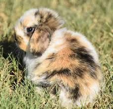Image result for tri-colored baby bunnies