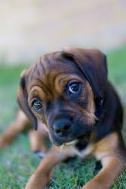 black and brown puggle. Simple Brown Puggle Dog Breed Picture With Black And Brown U