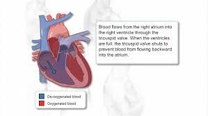 Human Blood Flow Chart Blood Flow Through The Heart Science Learning Hub