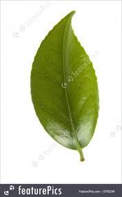 fresh tea leaves. Modren Fresh Plants Fresh Tea Leaves Isolated On The White Background With Tea Leaves
