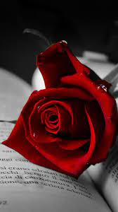 Red rose wallpaper, Rose hd wallpapers