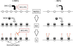 human rif1 and protein phosphatase 1 stimulate dna replication figure