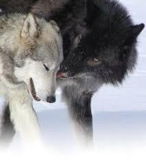 black wolf and white wolf love. Modren White Wolf Love In Black And White C
