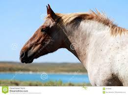 draft horse head profile. Wonderful Draft Strawberry Roan Draft Horse On Head Profile