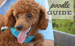 Poodle Guide The Worlds Second Smartest Breed