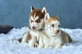 red husky puppy blue eyes. Simple Red Stock Photo  Two Blueeyed Copper And Light Red Husky Puppies Lying On  White Blanket With Red Husky Puppy Blue Eyes