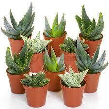 office pot plants. aloe vera mix 10 plants house office live indoor pot plant ideal