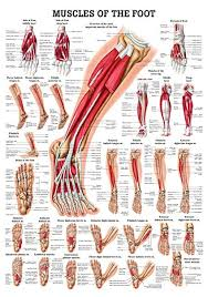 Laminated Anatomical Charts Muscles Of The Foot Laminated Anatomy Chart