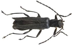 New Soldier Beetle Named after <b>Japanese Animated</b> TV Series ...