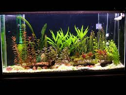Fun Fish Tank Decorations Which Live Plants Are Good For Angelfish