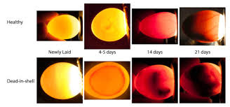 Egg Candling Chart Incubation And Hatch Assistance Avian Resources