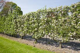 How To Choose The Right Apple Tree For Your GardenFruit Tree Cordons
