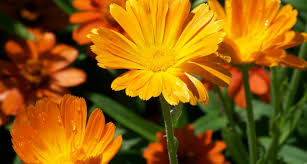 27 types of orange flowers
