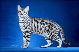 white bengal cat. Contemporary Cat White Bengal Cat For H